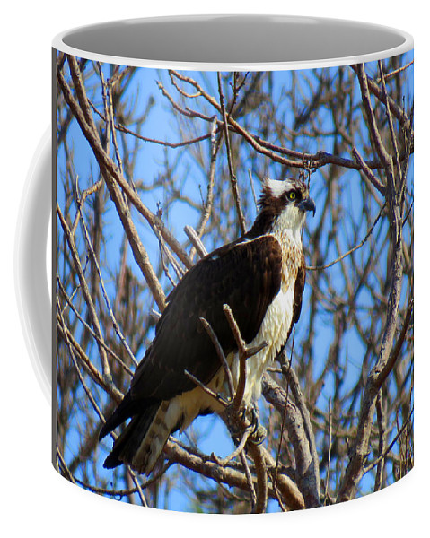 Osprey Coffee Mug featuring the photograph Osprey In Spring by Dianne Cowen