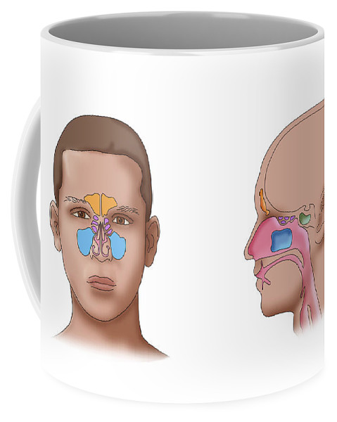 Medical Coffee Mug featuring the photograph Paranasal Sinuses, Illustration by Monica Schroeder