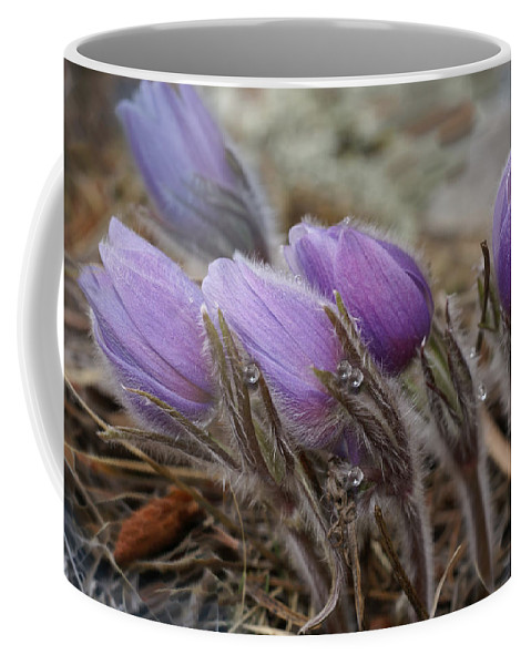 Pasque Flower Coffee Mug featuring the photograph Pasque Flower Watercolor by Heather Coen