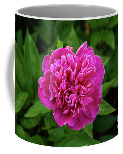 Pink Coffee Mug featuring the photograph Peony by Kevin Gladwell