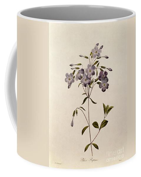 Phlox Coffee Mug featuring the drawing Phlox Reptans by Pierre Joseph Redoute
