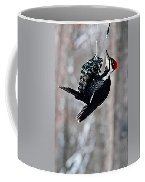 Cumberand Coffee Mug featuring the photograph Pileated Billed Woodpecker Feeding 1 by Douglas Barnett