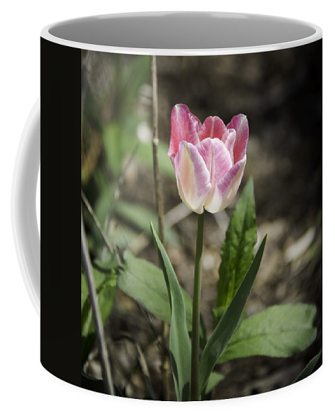 Flowers Coffee Mug featuring the photograph Pink And White Tulip Squared by Teresa Mucha