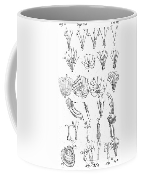 Historic Coffee Mug featuring the photograph Plant Sexual Systems, Carl Linnaeus by Science Source
