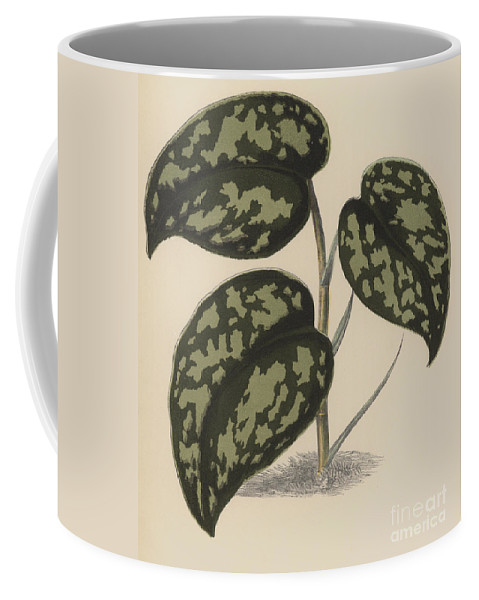 Pothos Argyraea Coffee Mug featuring the painting Pothos Argyraea by English School