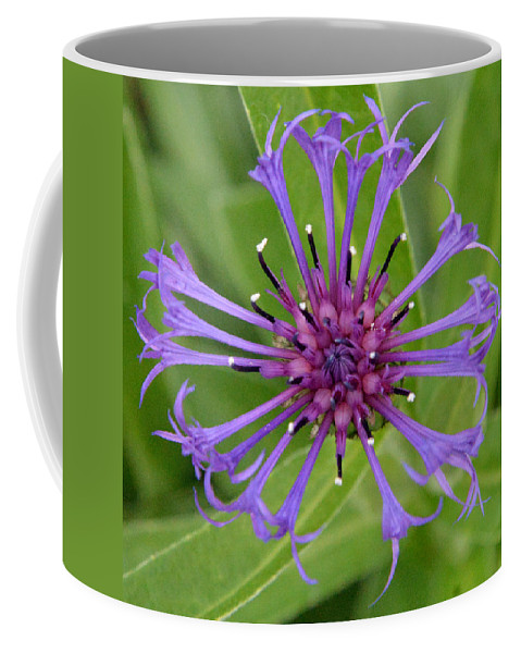 Flowers Coffee Mug featuring the photograph Purple Centaurea Montana Flower by Erin O'Neal-Morie