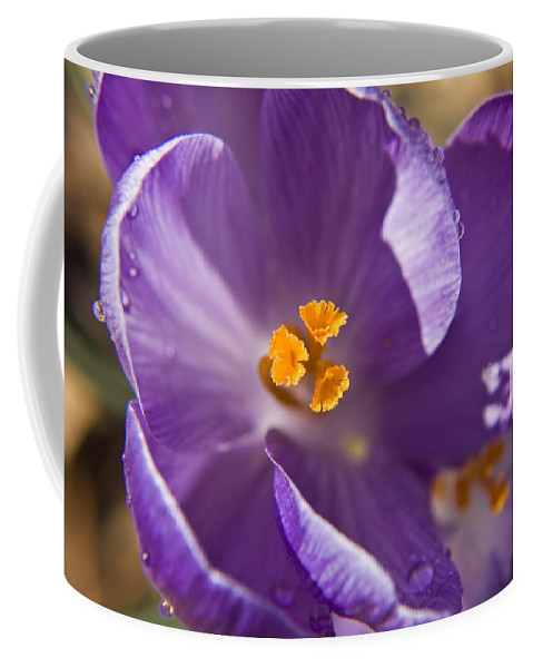 Crocus Coffee Mug featuring the photograph Purple Spring Crocus by Teresa Mucha