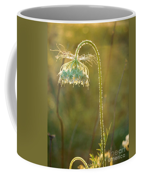 Queen Anne's Lace Coffee Mug featuring the photograph Queen Anne's Lace In Evening by Rowena Throckmorton