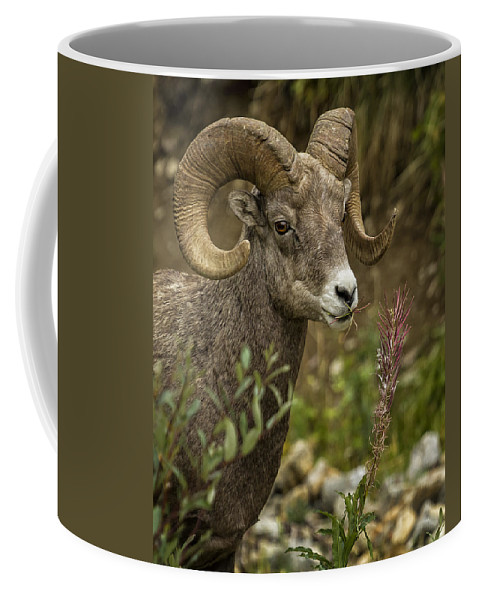 Big Horn Sheep Coffee Mug featuring the photograph Ram Eating Fireweed Cropped by Belinda Greb
