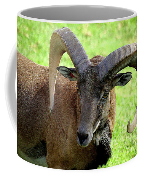 Big Horned Sheep Coffee Mug featuring the photograph Ram by Jim And Emily Bush