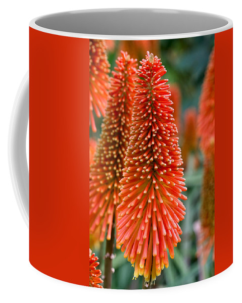 Flower Coffee Mug featuring the photograph Red-hot Poker Flower Kniphofia by Louise Heusinkveld