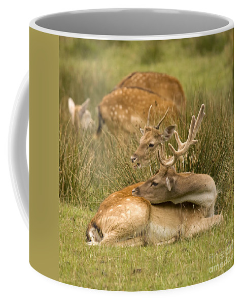 Fallow Deer Coffee Mug featuring the photograph Rest Time by Angel Ciesniarska