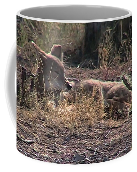 Canis Latrans Coffee Mug featuring the photograph Resting Coyote by Judy Kennedy