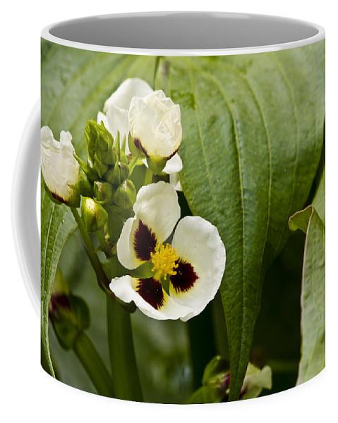 J Paul Getty Coffee Mug featuring the photograph Ruby Eye Arrowhead by Teresa Mucha