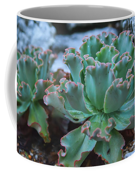 Echeveria Rosea Coffee Mug featuring the photograph Echeveria Rosea by Olga Hamilton