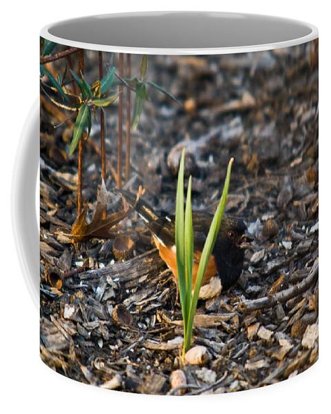 Cumberand Coffee Mug featuring the photograph Rufous Sided Towhee Eating Sead by Douglas Barnett