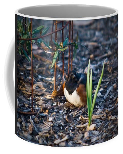 Cumberand Coffee Mug featuring the photograph Rufous Sided Towhee Looking Intent by Douglas Barnett