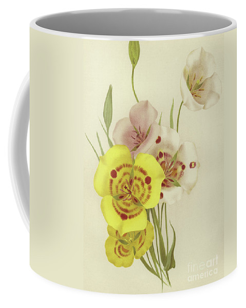 Botanical Coffee Mug featuring the painting Sego Lily  Calochortus by English School