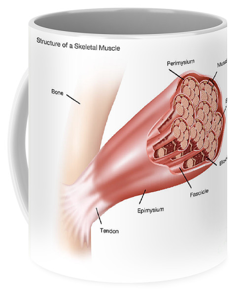 Science Coffee Mug featuring the photograph Skeletal Muscle Structure by Gwen Shockey