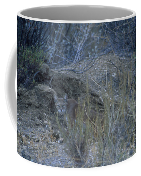Mountain Lion Coffee Mug featuring the photograph Stalked - Mountain Lion by Soli Deo Gloria Wilderness And Wildlife Photography