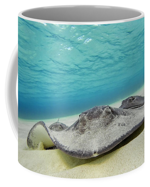3scape Coffee Mug featuring the photograph Stingrays Under Water by Adam Romanowicz