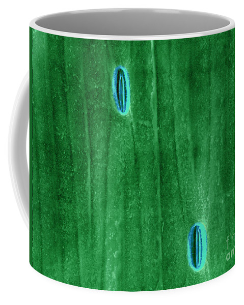 Stoma Coffee Mug featuring the photograph Stomata In A Green Onion Leaf, Esem by Scimat