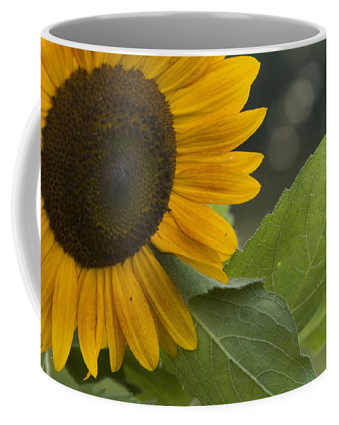 Flower Nature Farm Yellow Bright Sunflower Green Leaf Leaves Close Garden Organic Happy Coffee Mug featuring the photograph Sunflower by Andrei Shliakhau