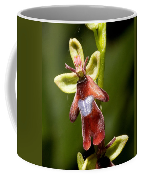 Fly Coffee Mug featuring the photograph The Fly Orchid by Bob Kemp