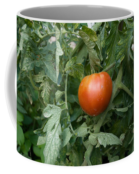 Photography Coffee Mug featuring the photograph Tomato Plants In A Nebraska Garden by Joel Sartore