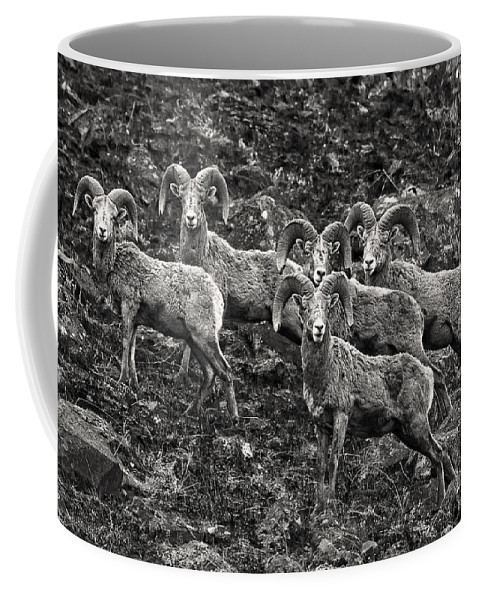 Trophy Rams Coffee Mug featuring the photograph Trophy Rams by Wes and Dotty Weber