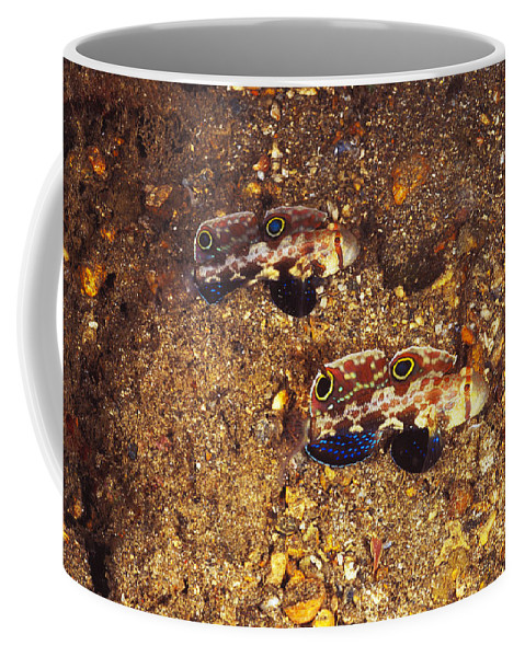 Solomon Islands Coffee Mug featuring the photograph Twinspot Goby Pair , Signigobius by James Forte
