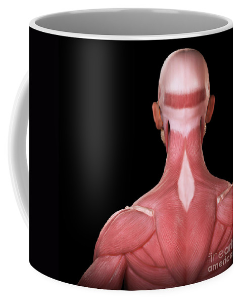 Digitally Generated Image Coffee Mug featuring the photograph Upper Body Muscles by Science Picture Co