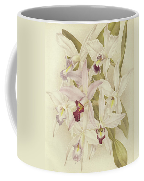 Orchid Coffee Mug featuring the painting Varieties Of Laelia Anceps by English School