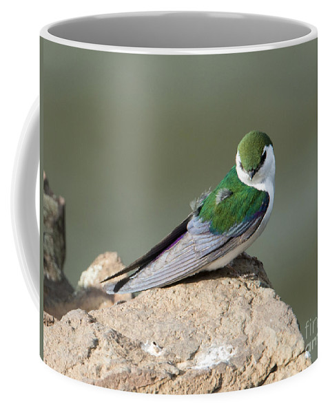 Violet-green Swallow Coffee Mug featuring the photograph Violet-green Swallow by Mike Dawson