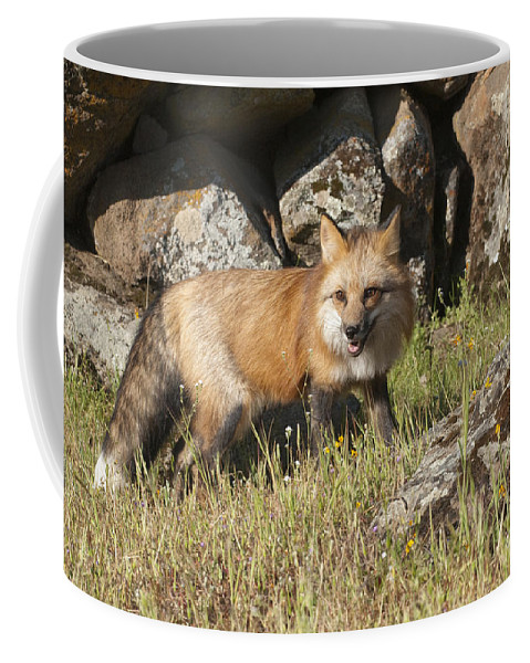 Red Fox Coffee Mug featuring the photograph Wary Red Fox by Sandra Bronstein