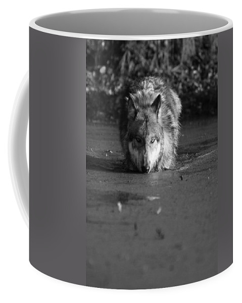 Wolf Wolves Lupine Canis Lupis Animal Wildlife Photograph Photography Coffee Mug featuring the photograph Water Wolf I by Shari Jardina