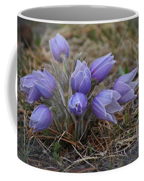 Pasque Flower Coffee Mug featuring the photograph Watercolor Pasque Flowers by Heather Coen