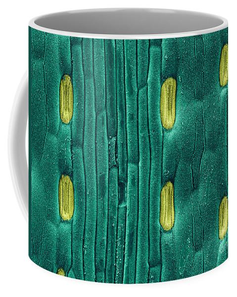 Stoma Coffee Mug featuring the photograph Wheat Leaf Stomata, Sem by Scimat