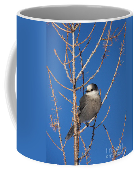 Whiskey Jack Coffee Mug featuring the photograph Whiskey Jack Perched On A Winter Larch by Greg Hammond