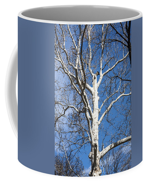 American Sycamore Tree Coffee Mug featuring the photograph White Bark by Sally Weigand