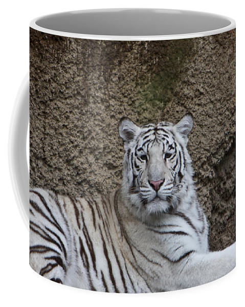 White Coffee Mug featuring the photograph White Tiger Resting by Douglas Barnett
