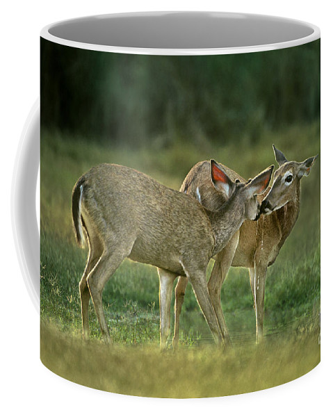 North America Coffee Mug featuring the photograph Whitetail Deer Share An Initmate Moment Texas Wildlife by Dave Welling