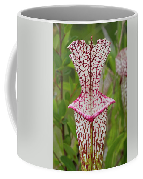 Pitcherplant Coffee Mug featuring the photograph Whitetop Pitcherplant by Paul Rebmann