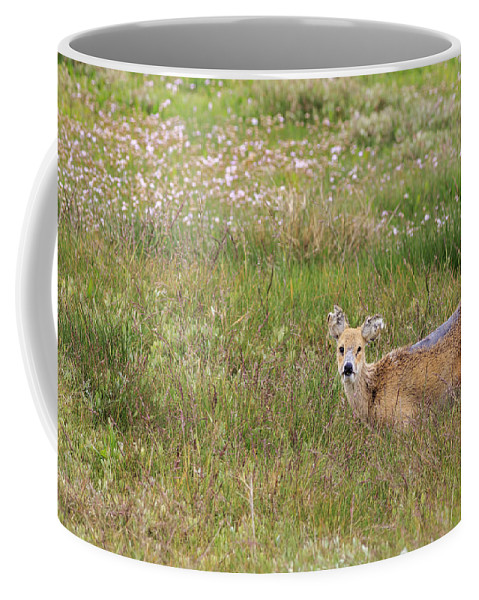 Deer Coffee Mug featuring the photograph Wild Chinese Water Deer by Chris Smith