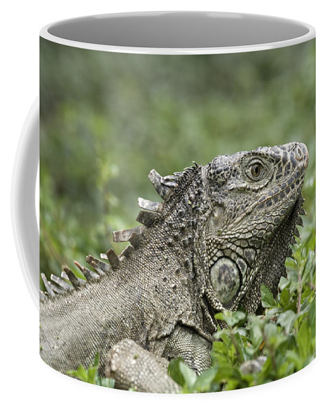 One Animal Coffee Mug featuring the photograph Wild Green Iguana Iguana Iguana At Los by Rich Reid