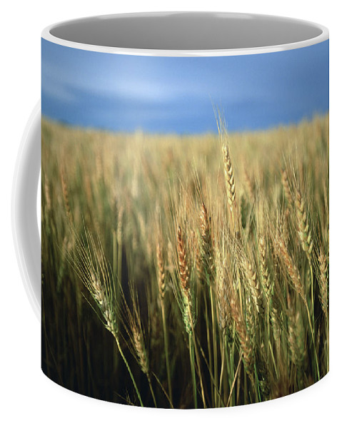 Nobody Coffee Mug featuring the photograph Winter Wheat In Linn, Kansas by Joel Sartore