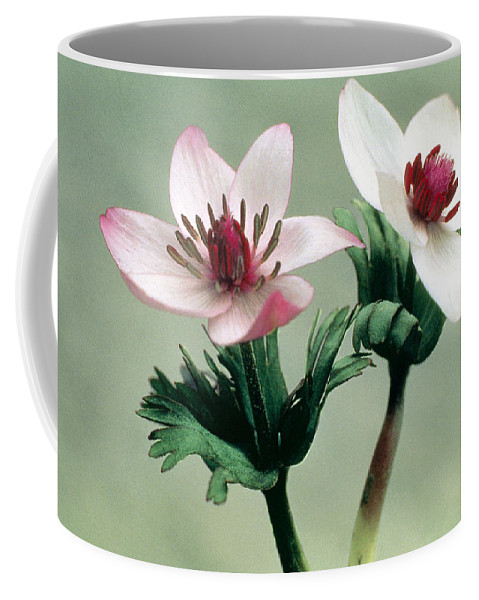 Flower Coffee Mug featuring the photograph Wood Anemone by American School