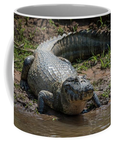 Brazil Coffee Mug featuring the photograph Yacare Caiman On Grassy Beach Eyeing Camera by Ndp