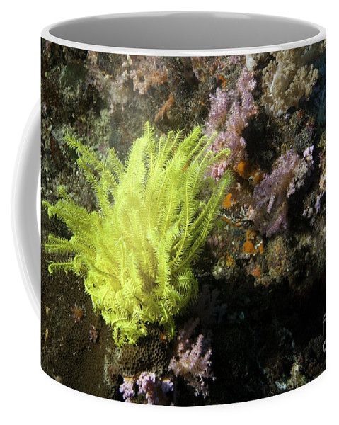Feather Star Coffee Mug featuring the photograph Yellow Feather Star by Anthony Totah