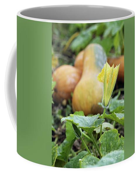 Pumpkin Coffee Mug featuring the photograph Yellow Pumpkin Flower Closeup Garden Autumn Season by Goce Risteski